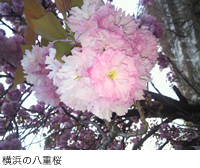 横浜の八重桜